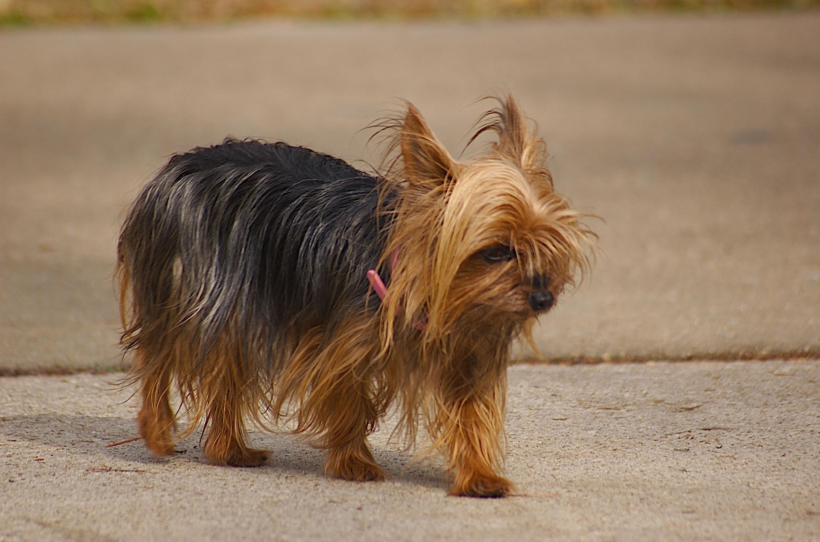 Teacup Yorkshire Terrier - My Doggy Rocks
