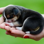 Tiny beagle puppy