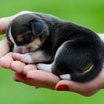 Tiny beagle puppy