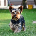 Trimmed Yorkshire Terrier