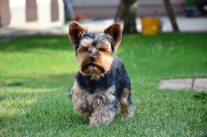 Trimmed Yorkshire Terrier
