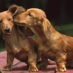 Two Dachshunds wallpaper