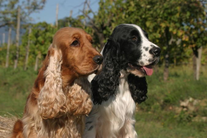 Two English Cocker Spaniels