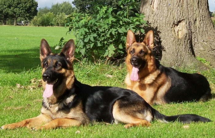 Two German Shepherd dogs