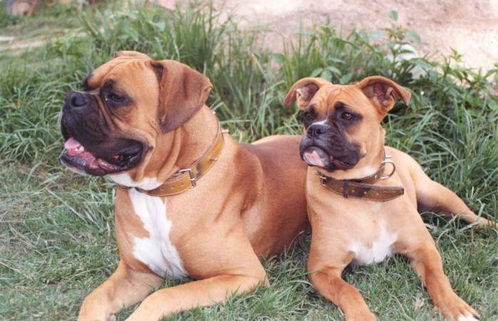 Two fawn Boxers