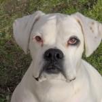 White Boxer head