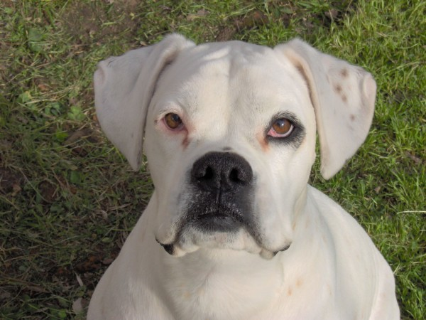 White Boxer head