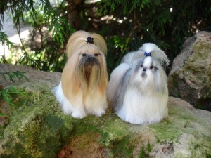 White/gold and white/grey Shih Tzu