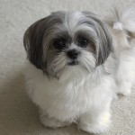 White gray Shih Tzu