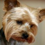 Yorkshire Terrier head wallpaper
