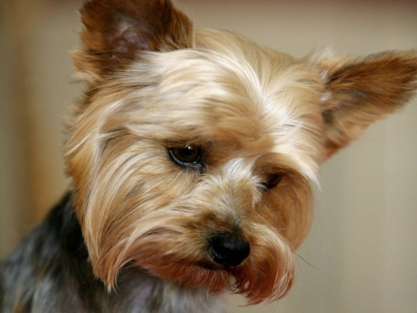 Yorkshire Terrier head wallpaper