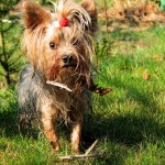 Yorkshire Terrier in grass wallpaper
