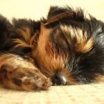 Yorkshire Terrier puppy sleeping