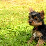 Yorkshire Terrier puppy wallpaper