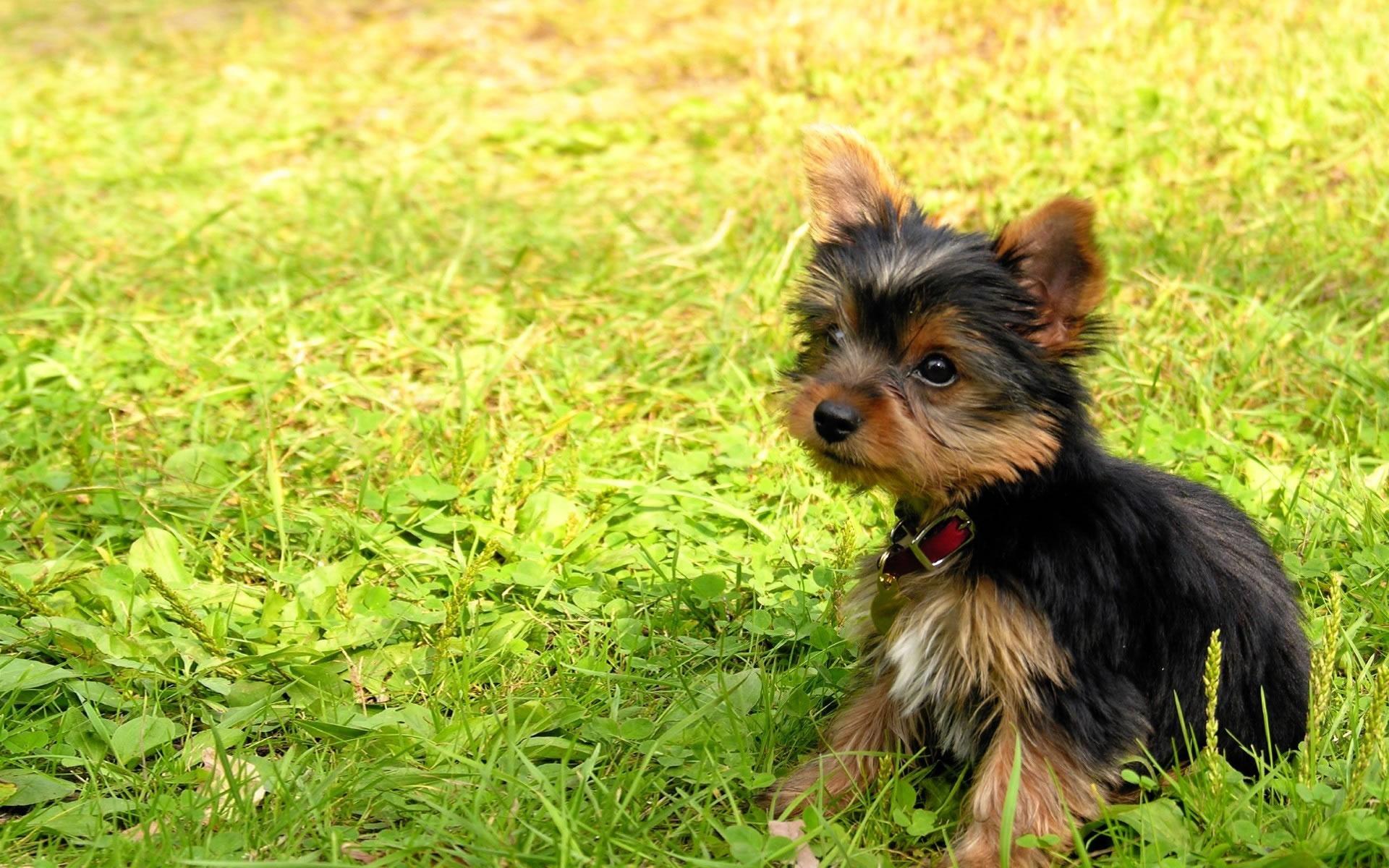 Yorkshire Terrier - My...