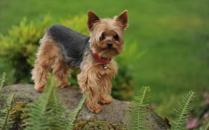 Yorkshire Terrier wallpaper (2)