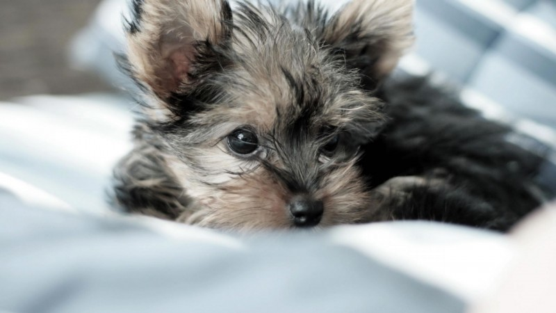 Yorkshire Terrier wallpaper (3)