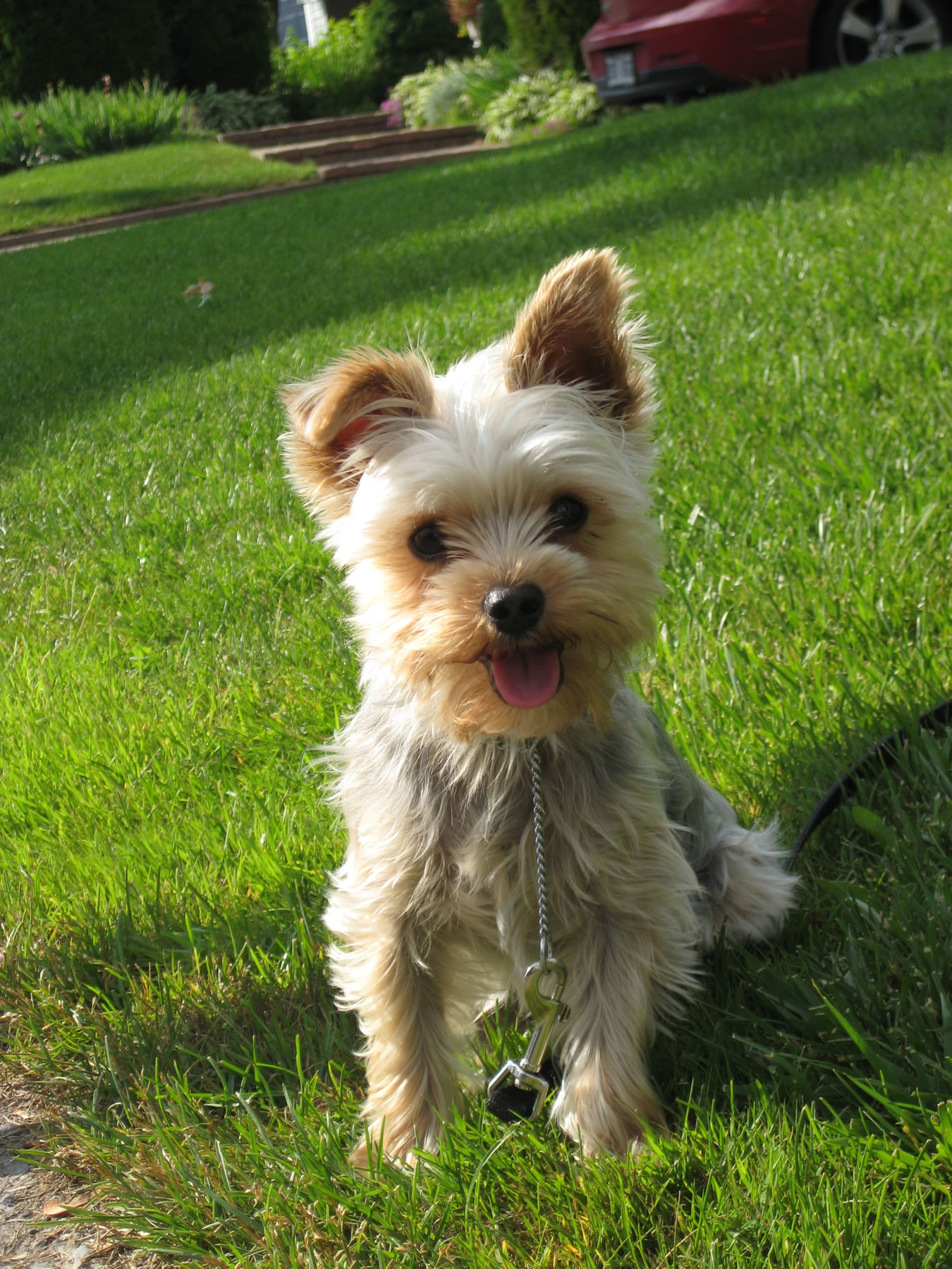 Yorkshire Terrier My Doggy Rocks