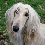Afghan Hound head