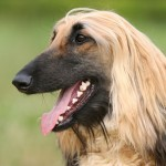 Afghan Hound head wallpaper-2