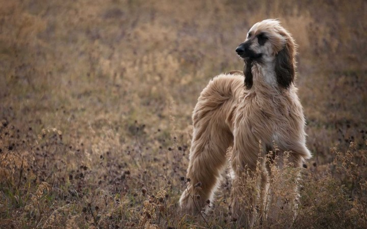 Afghan Hound in field wallpaper (2)