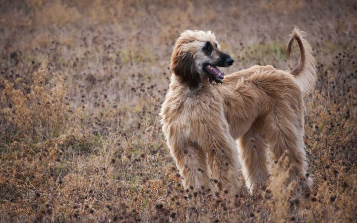 Afghan Hound in field wallpaper