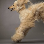 Afghan Hound jumping wallpaper
