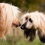 Afghan Hound lovers
