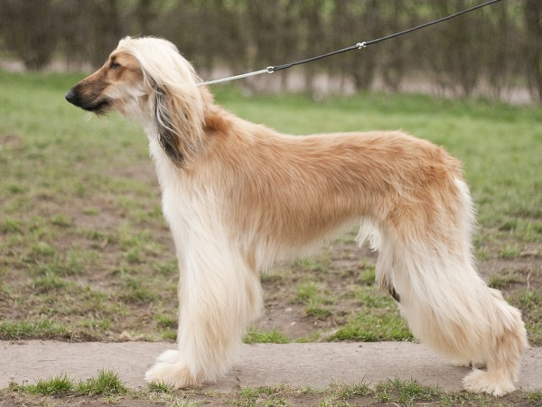 Afghan Hound on leash wallpaper