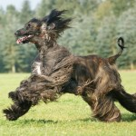 Afghan Hound running wallpaper