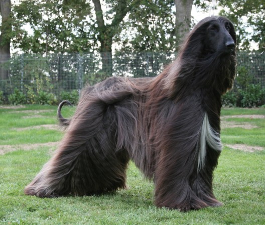 Afghan Hound wallpaper (2)