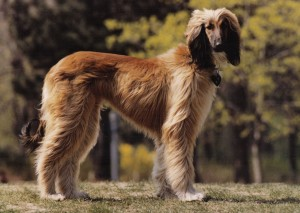 Afghan Hound wallpaper (3)