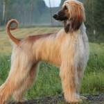 Beautiful Afghan Hound wallpaper
