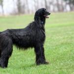 Black Afghan Hound