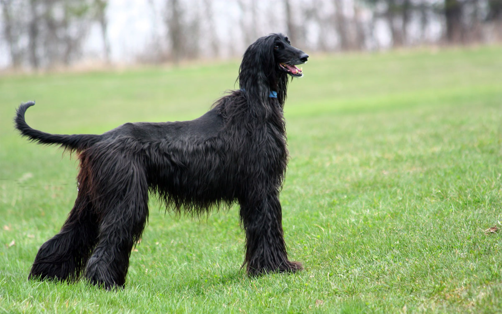 Afghan Hound - My Doggy Rocks