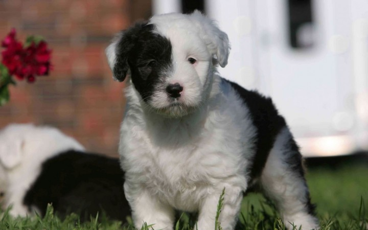 Black and white Old English Sheepdog wallpaper