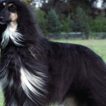 Blue Afghan Hound wallpaper