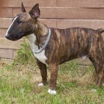 Brindle Bull Terrier wallpaper