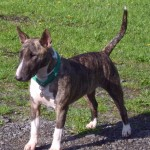 Brindle and white Bull Terrier