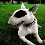 Bull Terrier closeup wallpaper
