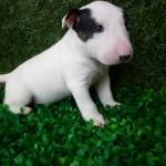 Bull Terrier puppy (2)