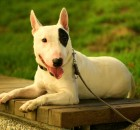 Bull Terrier wallpaper