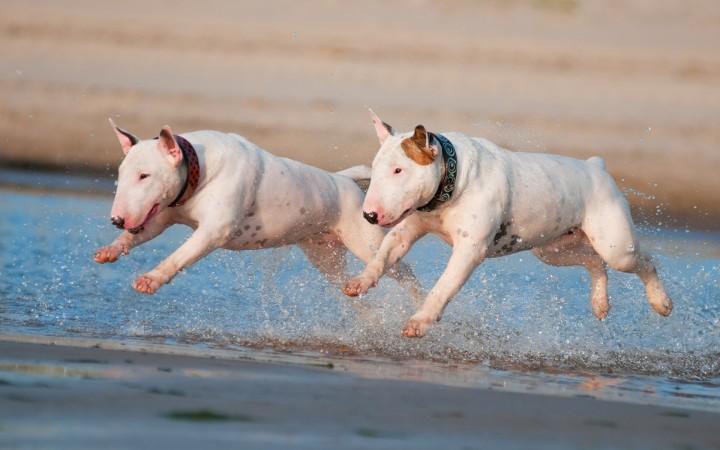 Bull Terriers running wallpaper