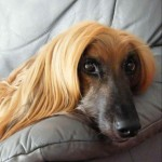 Cute Afghan Hound on couch