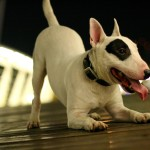 Cute Bull Terrier wallpaper