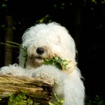 Cute Old English Sheepdog wallpaper