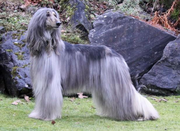 Grey Afghan Hound