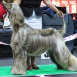 Grey coat Afghan Hound