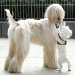 Light cream coated Afghan Hound