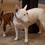 Normal and miniature Bull Terriers